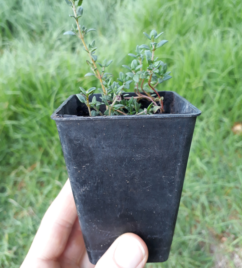 Alternative Sustainable Seed Raising Containers Reused Plastic Punnet